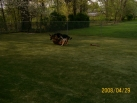 98-ball of 3 dogs rolling on grass